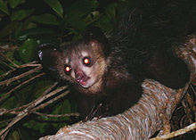 Cat-sized primate with large, membranous ears, black, coarse fur, long, skinny fingers, and forward-facing eyes climbing along a tree branch; its eyes shining yellow, reflecting back the light from the camera flash