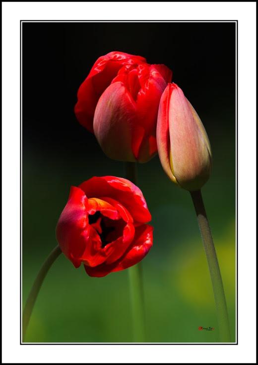 005 Tulip
