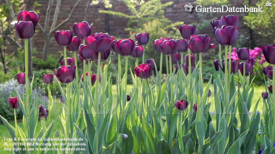 Tulipa Trium Recreado
