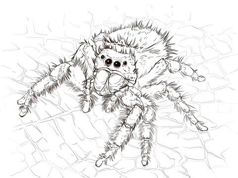 Dibujo De Araña Saltadora Para Colorear Dibujos Para Colorear