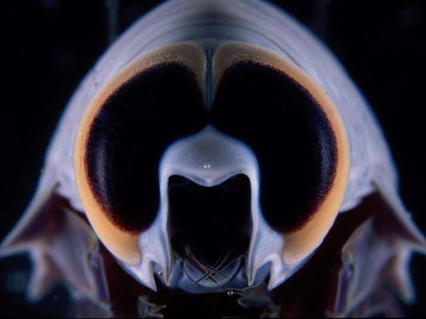 Detalhe dos olhos de crustáceo no registro feito por cientistas australianos com câmeras de alta tecnologia. (Foto: Barcroft Pacific/Barcroft Media/Getty Images)