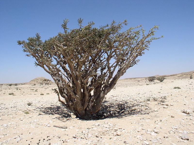 File:Boswellia sacra in Wadi Dowkah (Dhofar).JPG