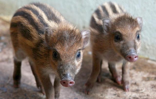 5800 Gambar Hewan Babi Ngepet Terbaik
