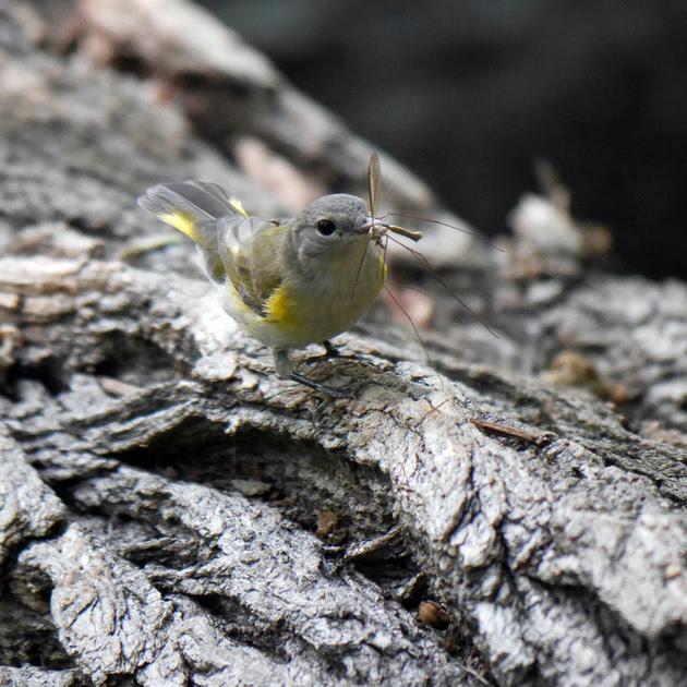 Ed Gaillard: birds &emdash; Redstart's lunch
