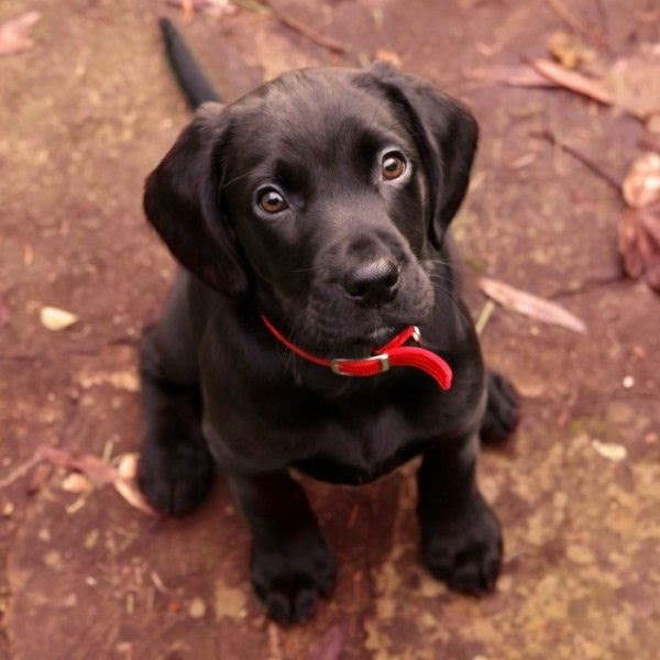 Black Lab Puppies for sale in Alabama USA