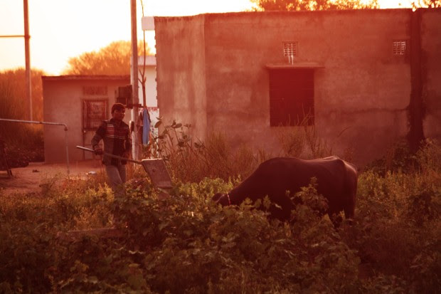 A farmer toiling in the field with his bull before dusk