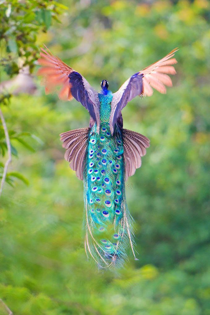 Unduh 670+ Foto Gambar Burung Merak Paling Indah  Terbaik