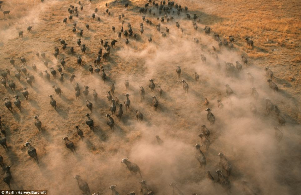 New perspective: An aerial view of the enormous herd of buffalo in Botswana