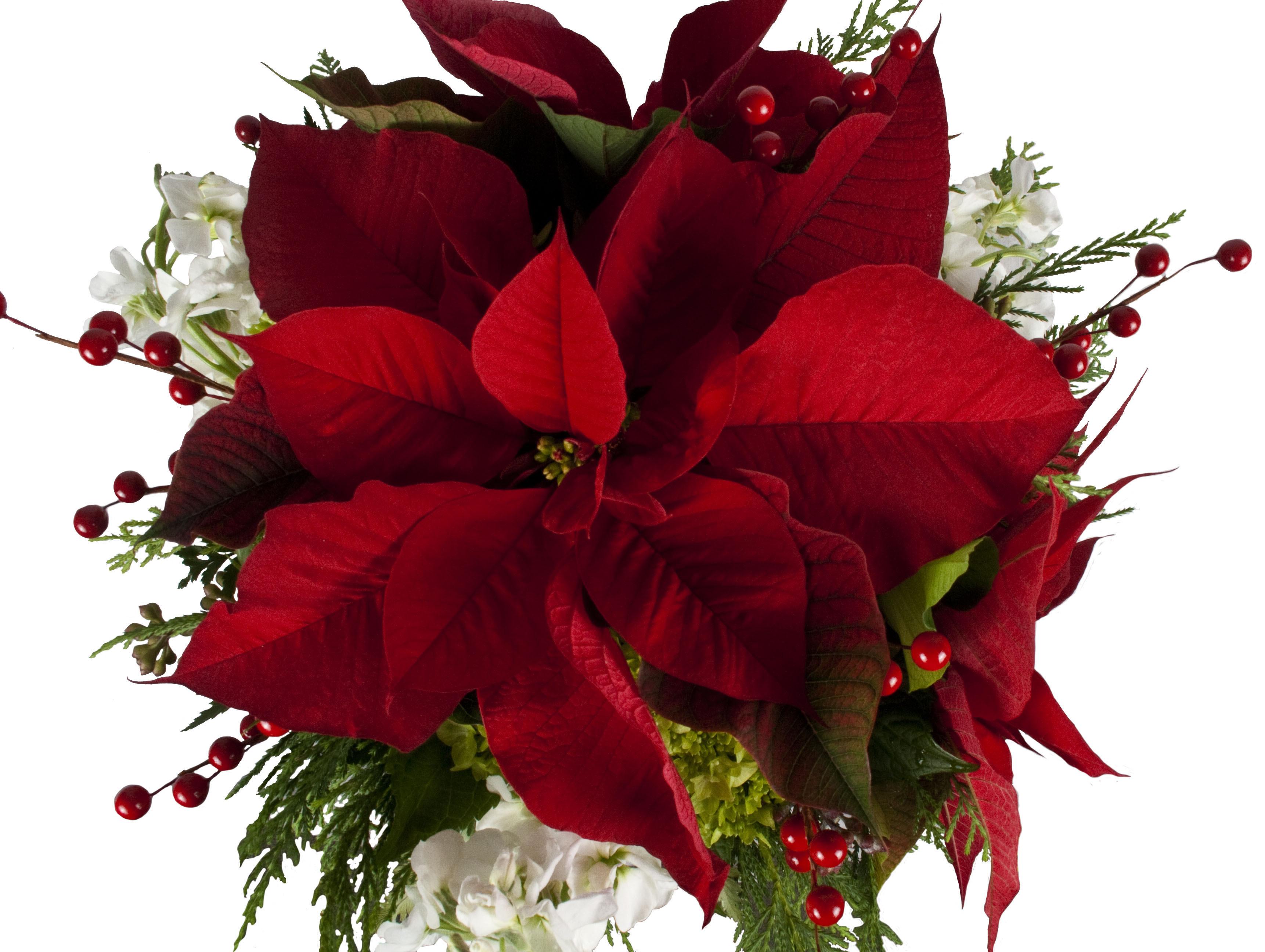 Poinsettia The Christmas Flower Freytags Florist Freytags Florist