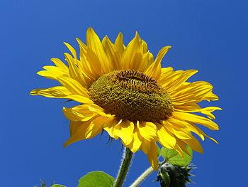 Sunflower (Helianthus annuus L). Słonecznik zw...