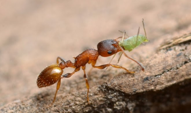 Внутренний паразит дает муравьям вечную молодость, но берет за это высокую цену