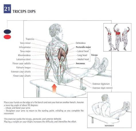 muscletransform  tricep isolation workout muscle anatomy