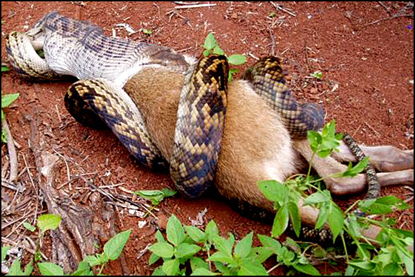 Snake Swallowing Kangaroo 4