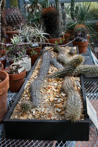 lazy cacti