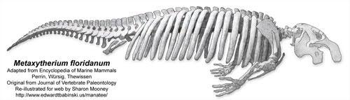 Skeleton of Metaxytherium floridanum - Early Sirenian