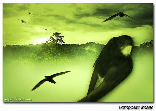 swallow composite image
