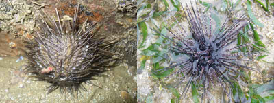Urchin-Temnopleurus (Changi) & Diadema setosum (Cyrene, Hantu)