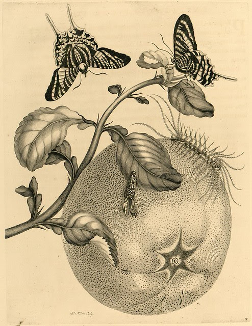 exquisite book engraving of insects