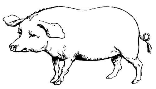 lustige schweine ausmalbilder  zeichnen und färben