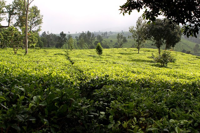 Sukawana Tea Plantation
