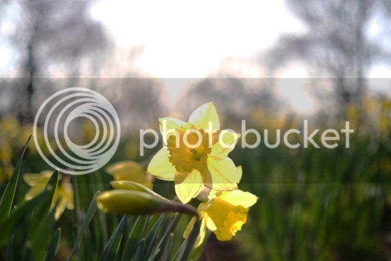 photo daffodils liverpool sefton park_zps3ixt788p.jpg
