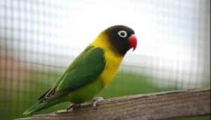 Penyakit katarak bisa menyerang siapa saja 13 Cara Mengobati Katarak Pada Burung Secara Alami