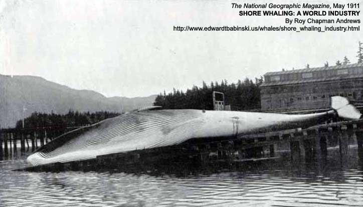 Female Finback Whale
