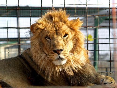 Lion Around again