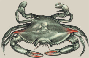 """The Maryland Blue Crab (Callinectes sapidus) or """"Beautiful Swimmer"""""""