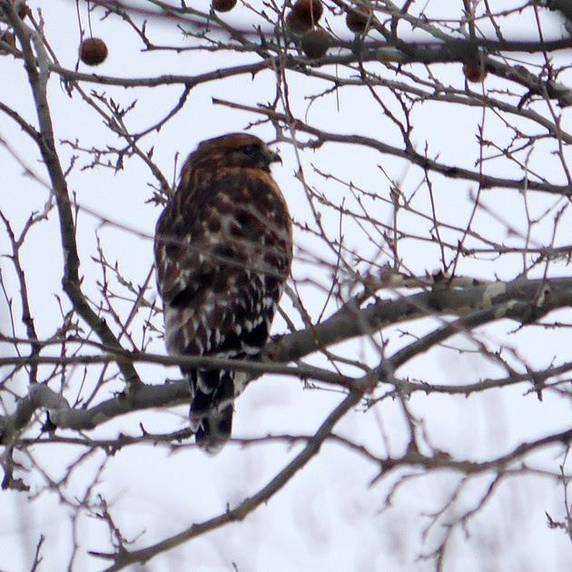 Ed Gaillard: birds &emdash; Red-Shouldered Hawk, Central Park
