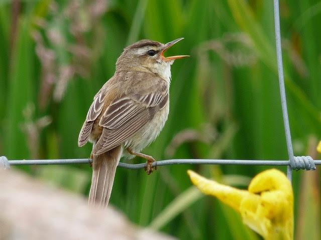24550 - Sedge Warbler, Iona