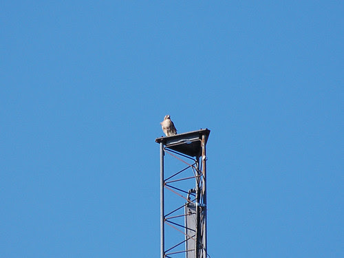 Red-Tailed Hawk on Antenna