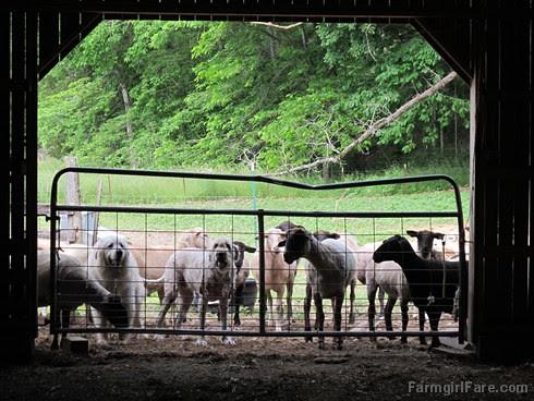 (28-33) Marta blends with the freshly shorn sheep - FarmgirlFare.com