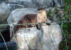 Otter5