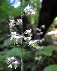sugar scoop - tiarella trifoliata