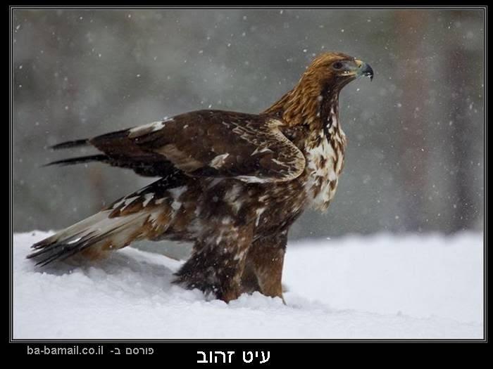 עופות דורסים, טבע, עיט זהוב