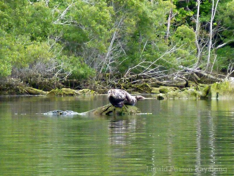kayak, tour, seal, wildlife, mendocino,