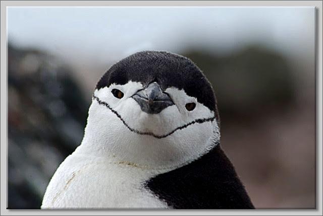 Pingüino barbijo