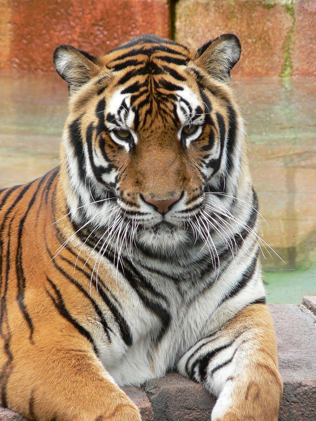 Panthera tigris7.jpg