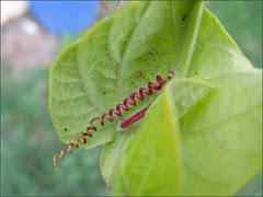 Pink Passion Vine tendril