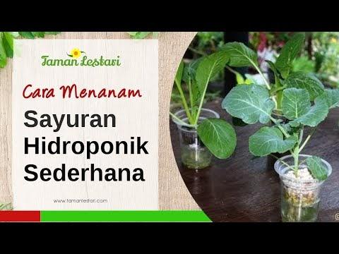 Cara Menanam Sayuran Hidroponik Sederhana Menggunakan Gelas Plastik