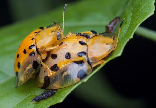 mating tortoise beetles and a parasitoid wasp IMG_0407 copy