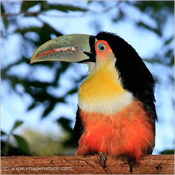Red-breasted Toucan (Ramphastos dicolorus)