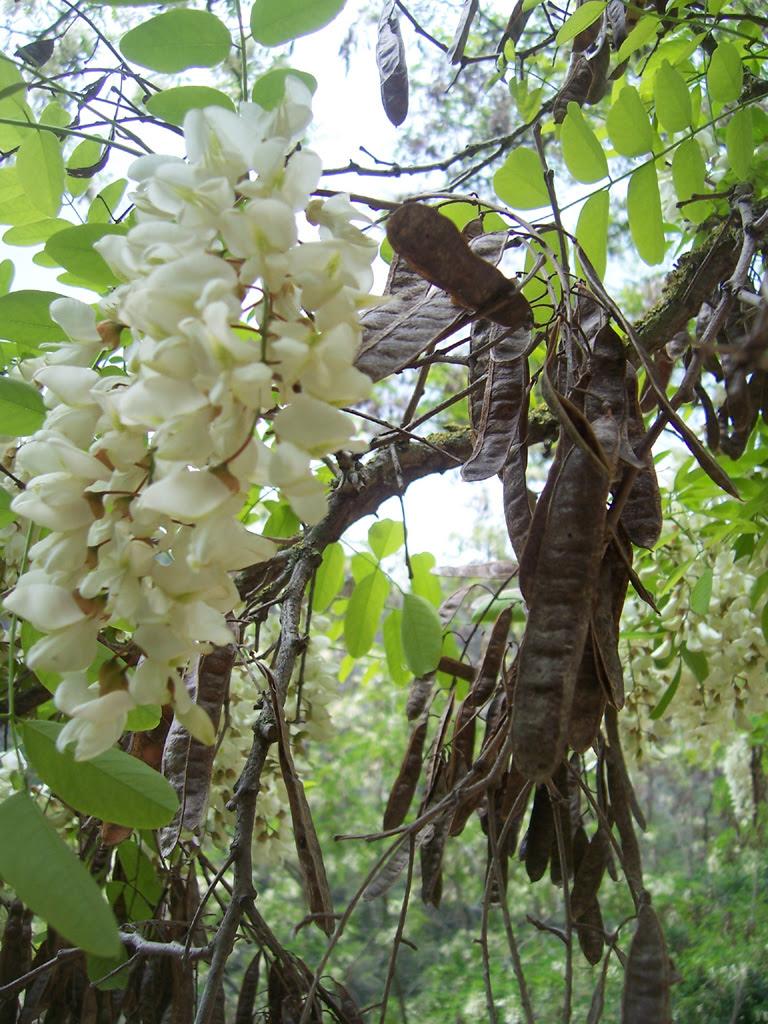 Fleurs : Robinier, faux acacia ou acacia blanc