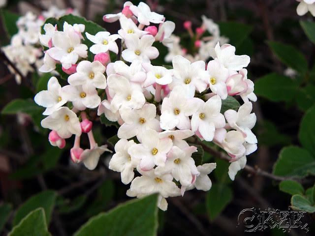 DSCN3259 Juddi Viburnum blooms