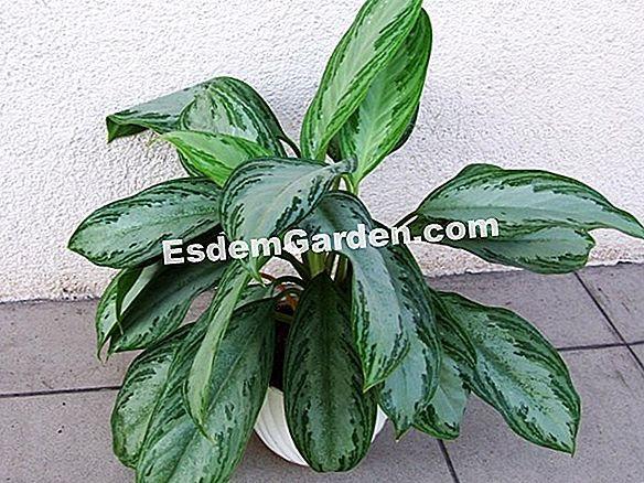 100+ Gambar Bunga Rosemary Terbaru