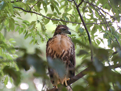 Cathedral Red-Tail Fledgling #2