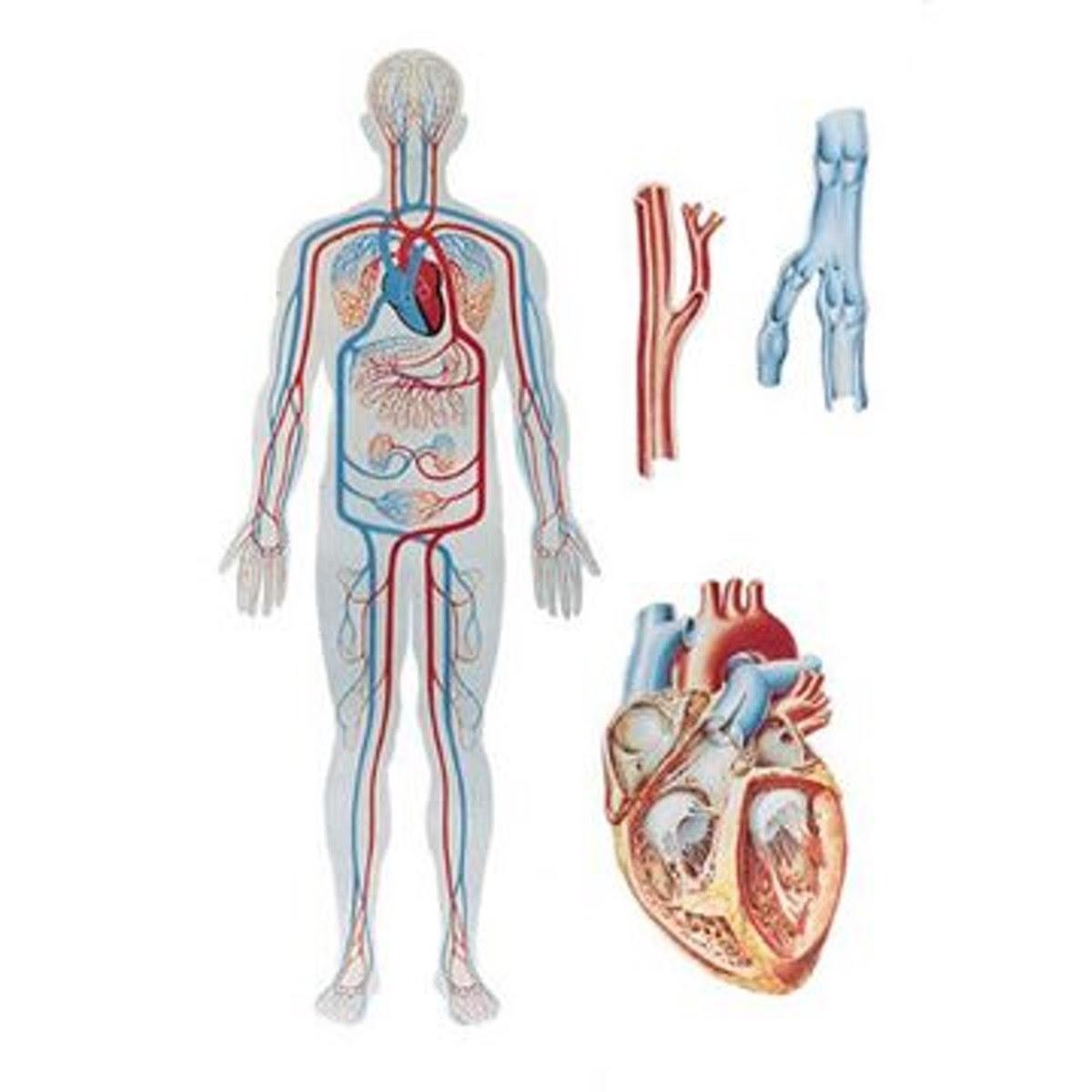 Die Blutzirkulation Plate - 84x118 cm | Das Herz und ...