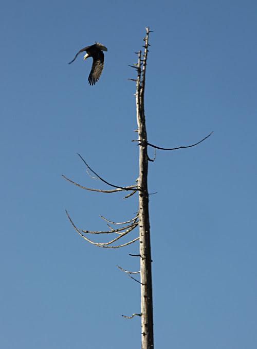 a bald eagle leaves its perch atop a tree near Kasaan, Alaska