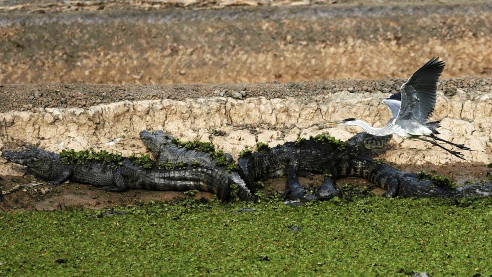 Caimanes a la orilla de una laguna que no recibe agua a causa de la sequía.. Foto: Reuters / Jorge Adorno